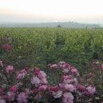 rosier matin de juin