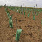 vigne-juste-plantee