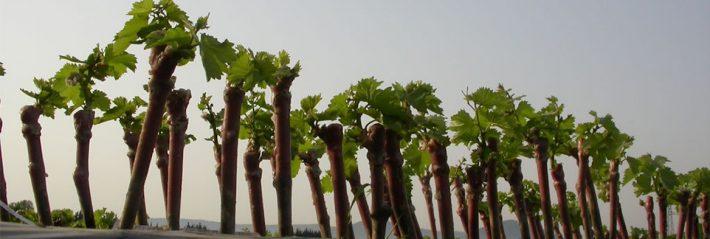 Parrainage cep de vigne