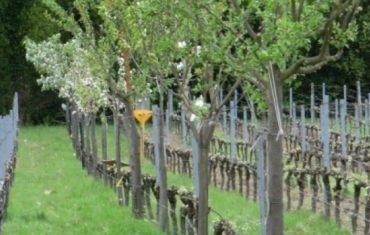 L'agroforesterie le futur de la vigne ?