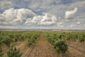 Vue du Vignoble Estremoz